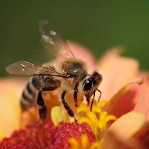 Honey bee collecting nectar on flower